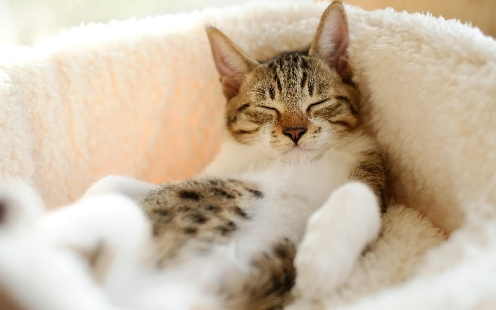 "Фото кошки ""Багира"" - Гостиница для кошек Маркиз"