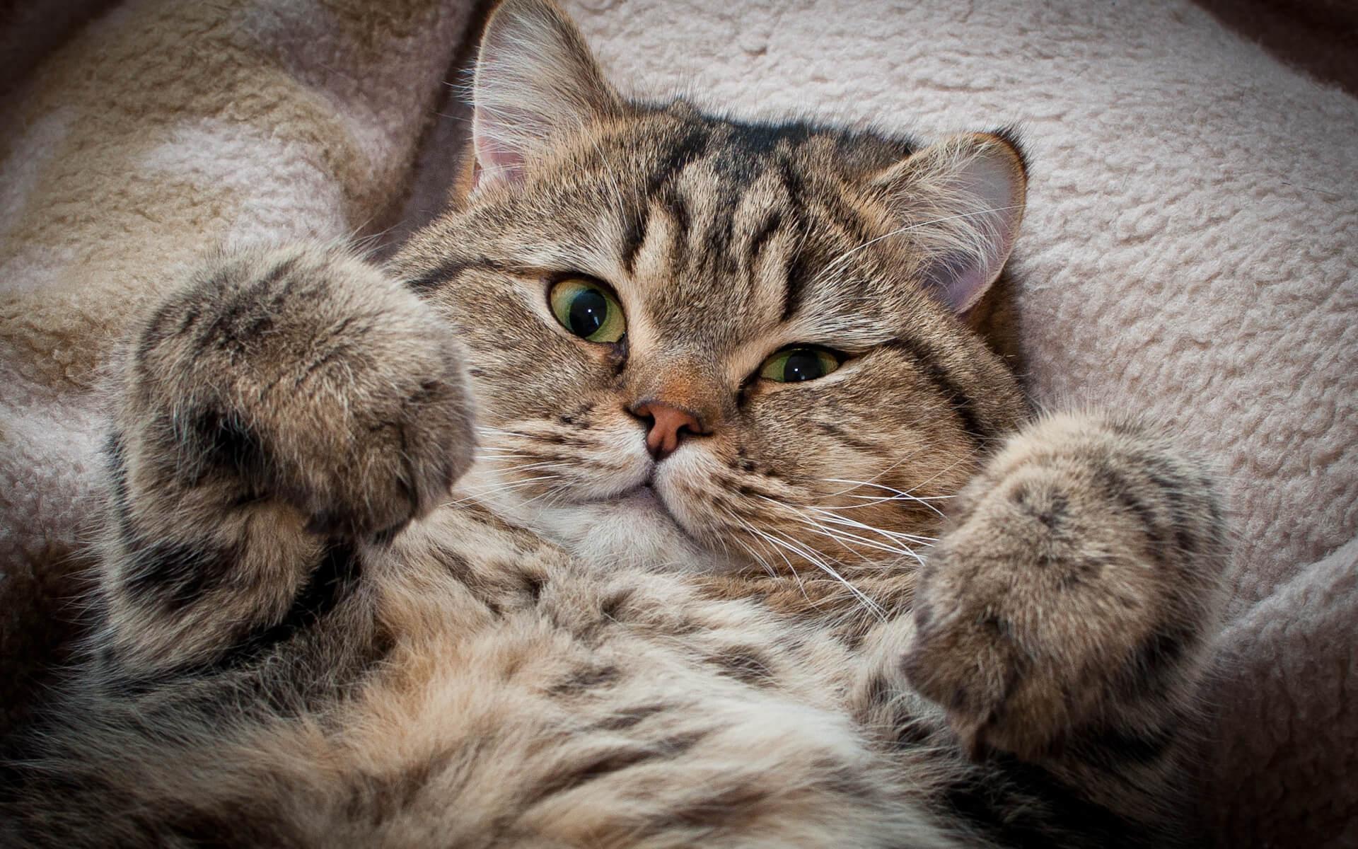 """Фото кото """"Леон"""" - Гостиница для кошек Маркиз Москва"""