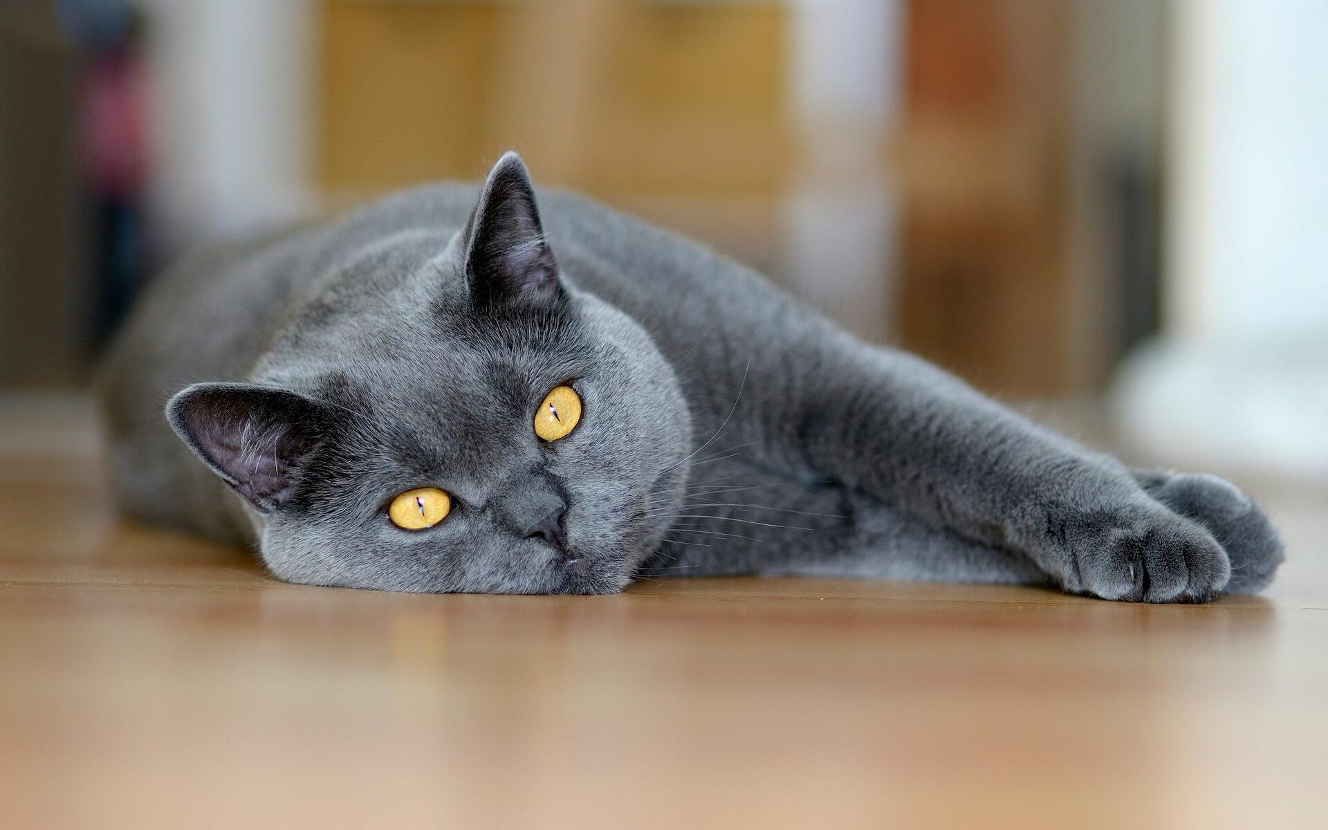 """Фото кошки """"Джесси"""" - Гостиница для кошек Маркиз"""