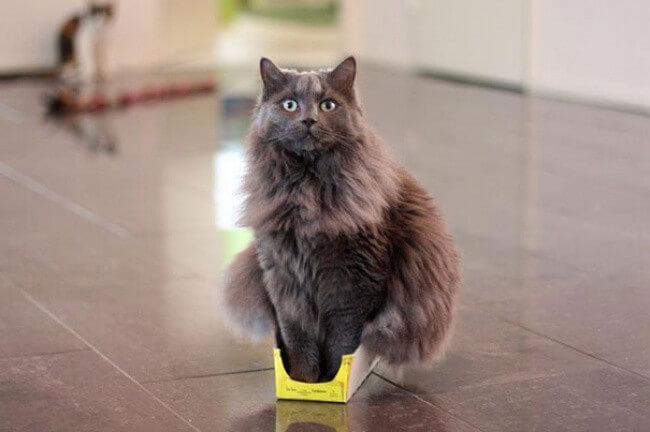 "Фото кошки ""Улисс"" - Гостиница для кошек Маркиз"
