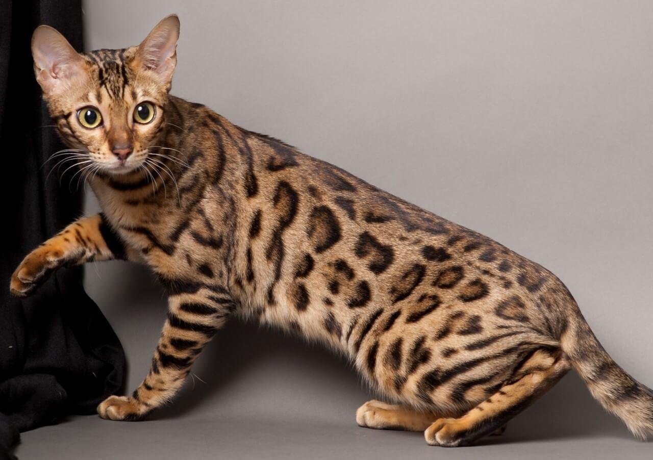 """Фото кошки """"Багира"""" - Маркиз отель - гостиница для котов и кошек"""