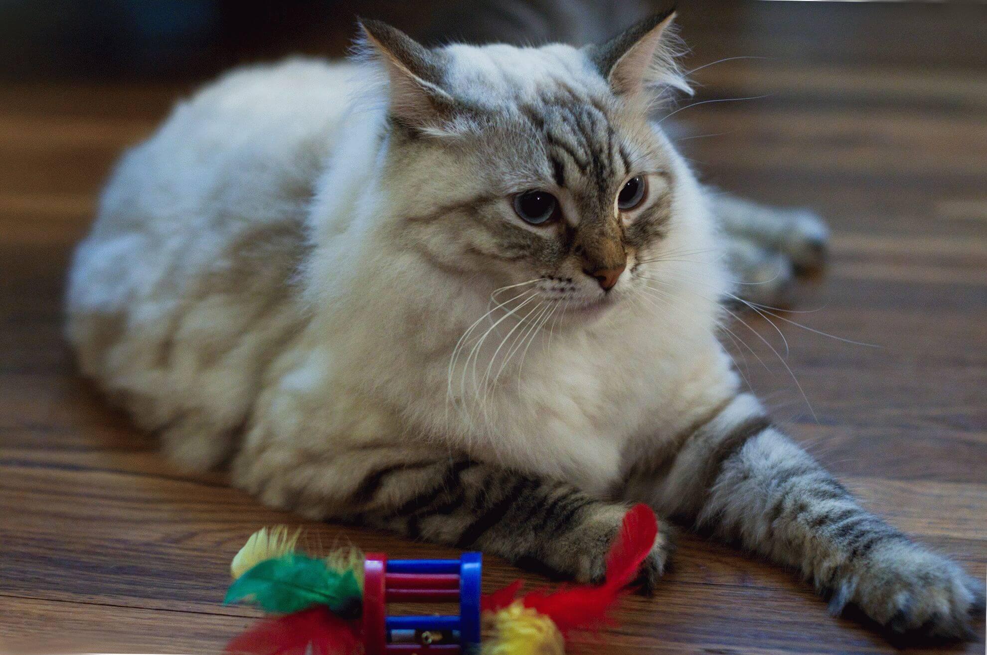"""Фото кошки """"Кузьма"""" - Гостиница для кошек Маркиз"""
