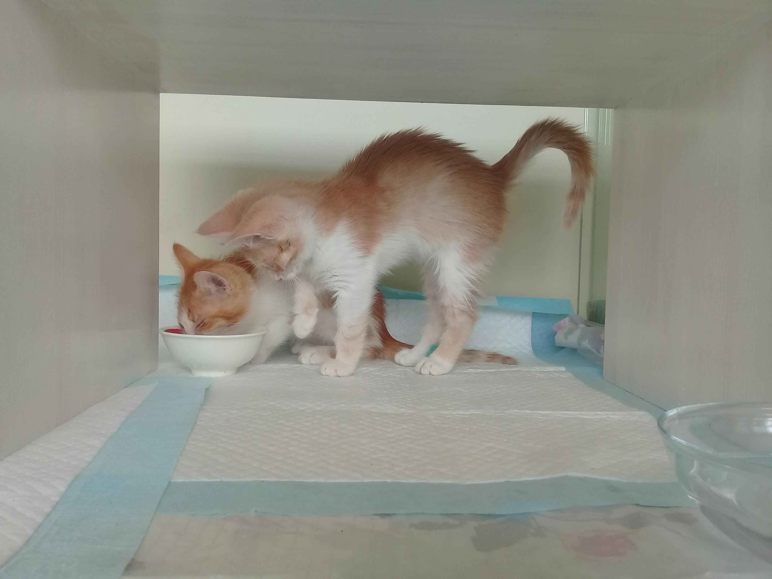 """Гостиница для кошек Маркиз Москва - фото кот """"Персик"""" - ждет хозяина"""