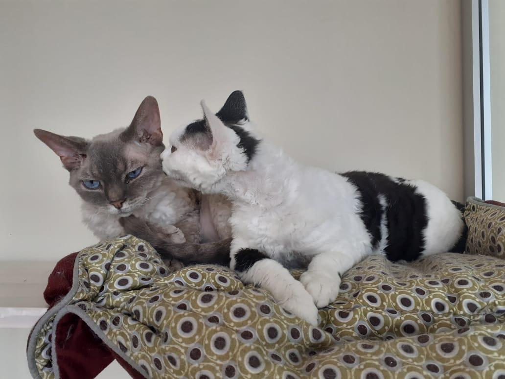 "Фото Кото ""Симона"" и ""Рио"" - Гостиница для кошек Маркиз"