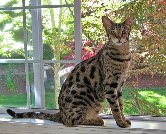 амая экзотическая домашняя кошка в мире