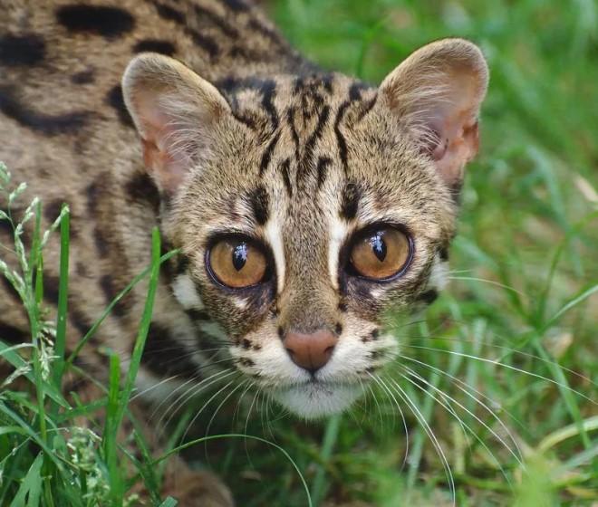 Уссурийская кошка как вид