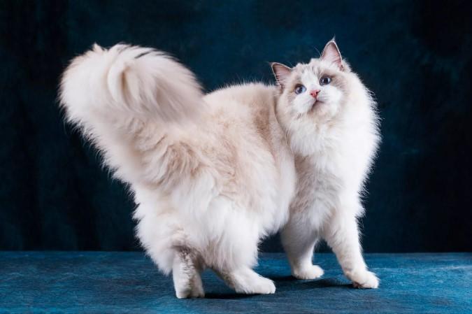 """Когда кошки размахивают хвостами? — Передержка кошек в Дмитрове в гостинице для кошек """"Маркиз"""""""