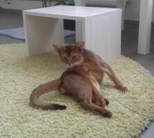 Гостиница для кошек Маркиз Москва — Фото кот «Нео»