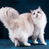 Когда кошки размахивают хвостами?