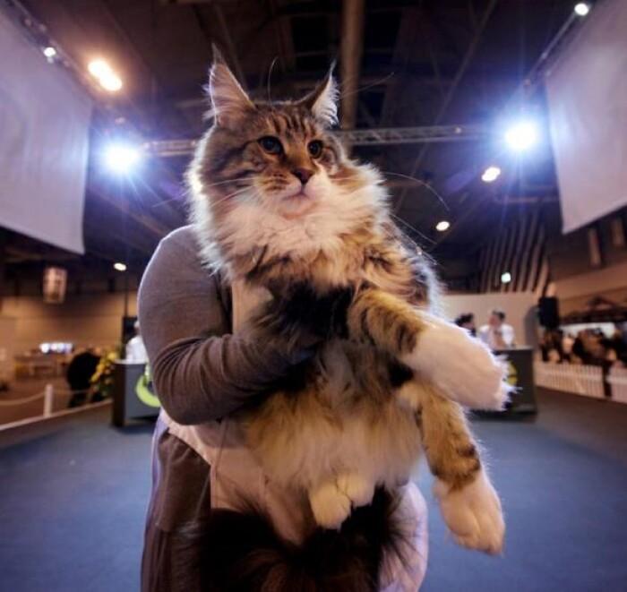 Для чего проводятся выставки кошек?