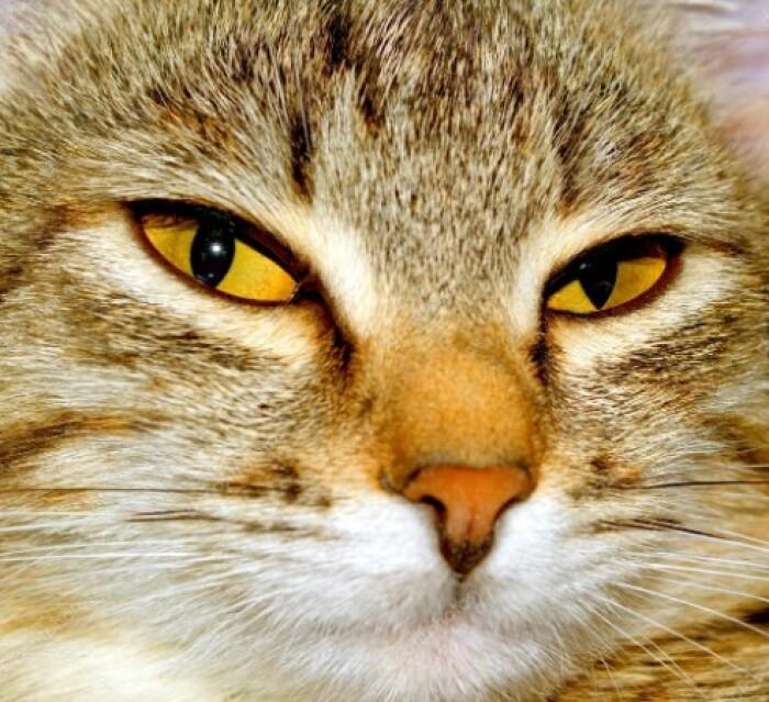 «Кошачий взгляд», или почему кошки смотрят в глаза?