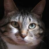 7 причин слезотечения у кошек