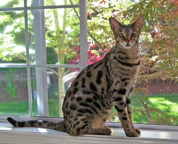 Самая экзотическая домашняя кошка в мире