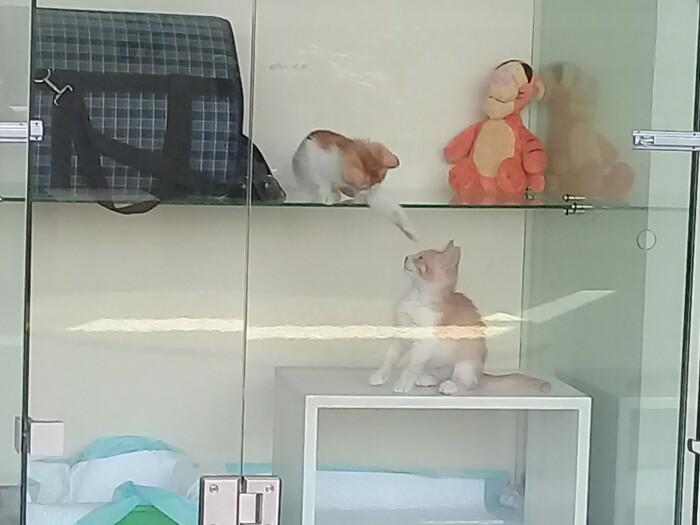 Котятки Персики — ждут хозяина — Гостиница для кошек Маркиз