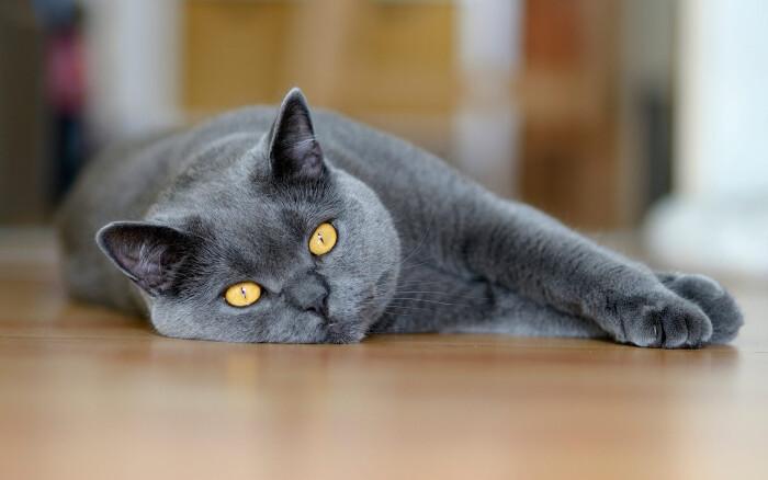 Фото кошки «Джесси»