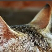 Слух у кошек