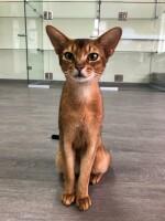 Фото Кот «Красавчик» — Гостиница для кошек Маркиз