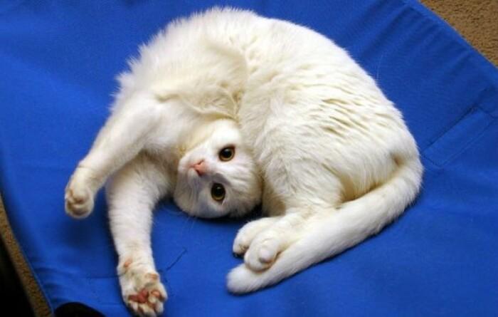 Анатомия кошек: необычные факты