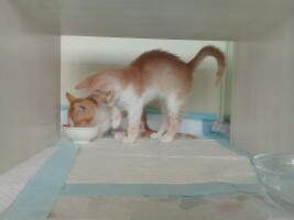 Фото кот «Персик» — Гостиница для кошек Маркиз