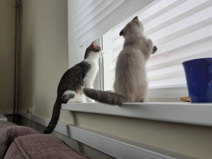 Фото Кото «Ирис» и «Рауль» — Гостиница для кошек Маркиз