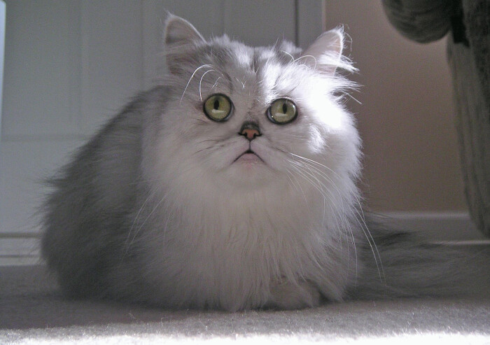 Фото кошки «Персик»