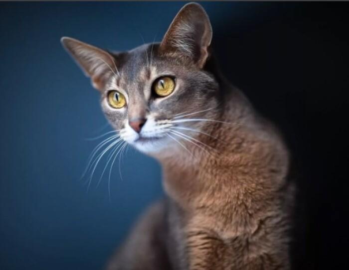 Голос кошки