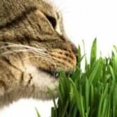 Зачем кошки едят свежую зеленую траву?